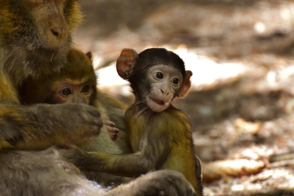 Japanmakaken aus dem Affenberg Landskron